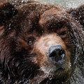Kodiak medve az index.hu hét képei között