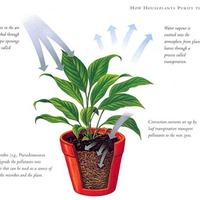 tisztítsuk a levegőt szobanövényekkel?