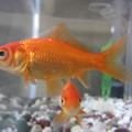 Aranyhal fajtái 1. rész - Szimpla farkú aranyhalak