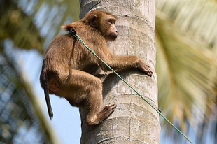 A Te kókuszdiódat is egy majom szedte le? A kókuszipar etikátlan megoldásai.