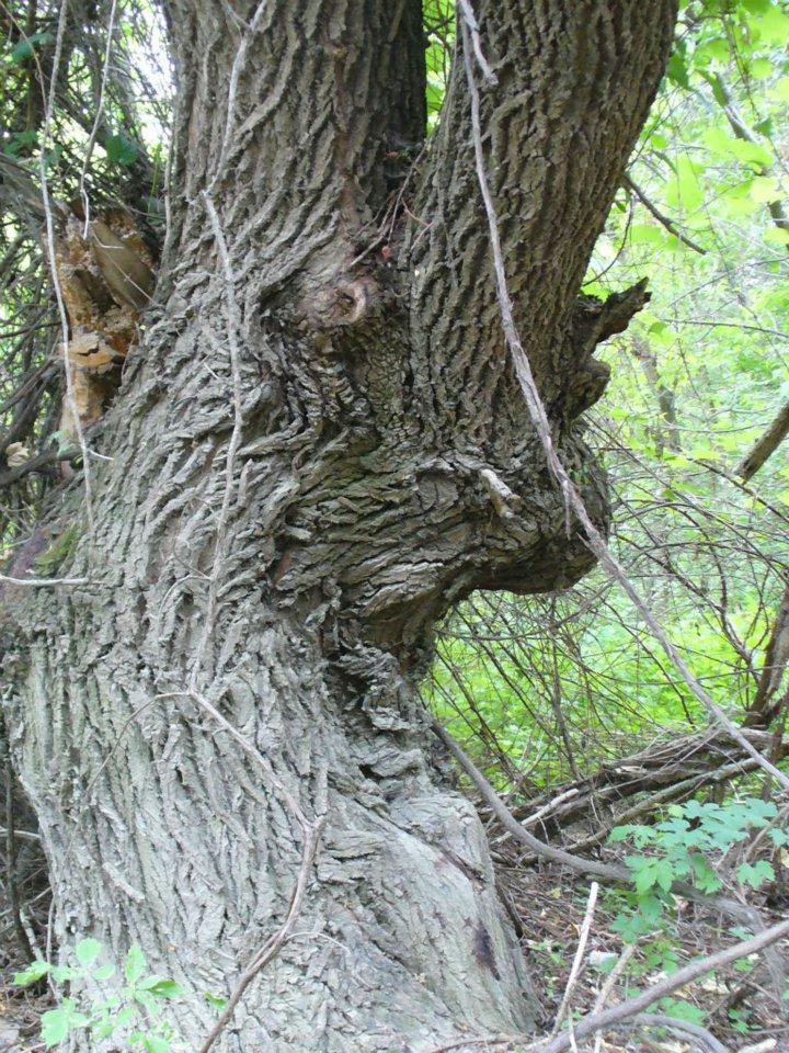 Az Erdő Bölcse.jpg