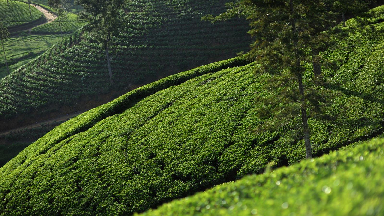 konyhasziget_ut_a_teahoz_tea-fields-04.jpg