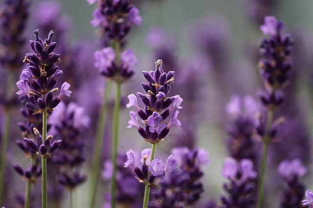 lavender-3479492_640.jpg