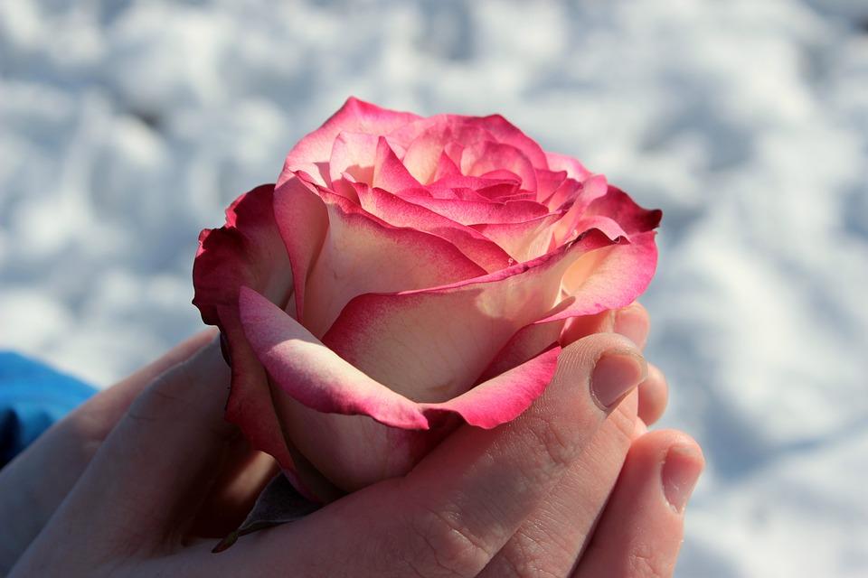 rose-1246479_960_720.jpg