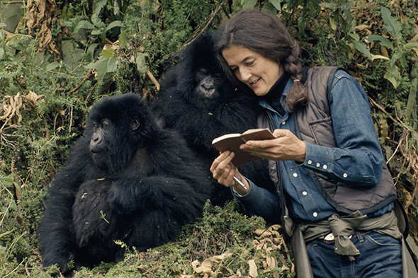 dian-fossey-baby-gorillas-590-590x393.jpg