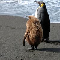 két pingvin két panda