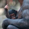 leglazább majom visszatért
