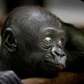 Upala a bébi gorilla