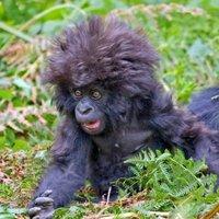 gorilla day yeah