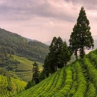 Teaültetvények Koreában