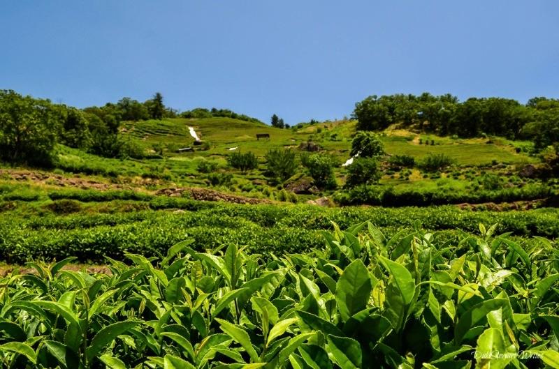 1_hadong-_tea_field.jpg