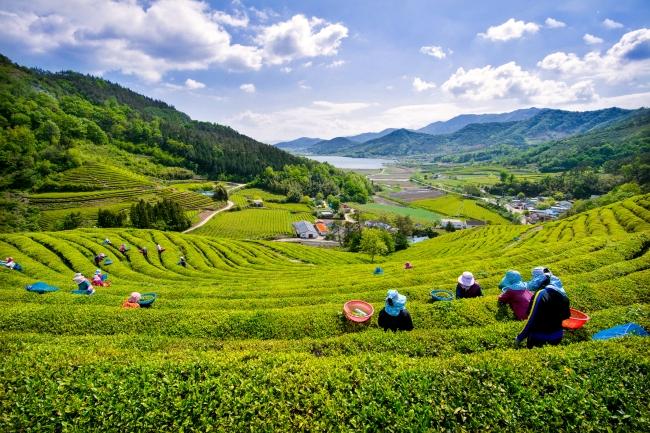 2_boseong_green_tea_plantation.jpg