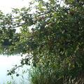 A vízpart vadon termő gyümölcsei