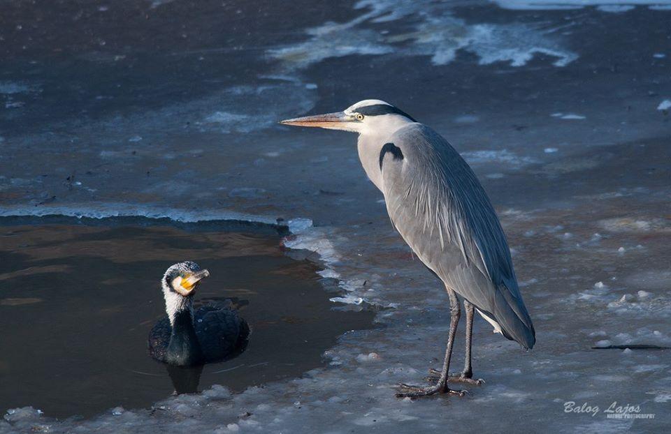 Szürke gém a jégen. Kormoránnal. Évtizedekkel ezelőtt szenzáció lett volna, Mára már természetes.(fotó Balog Lajos)