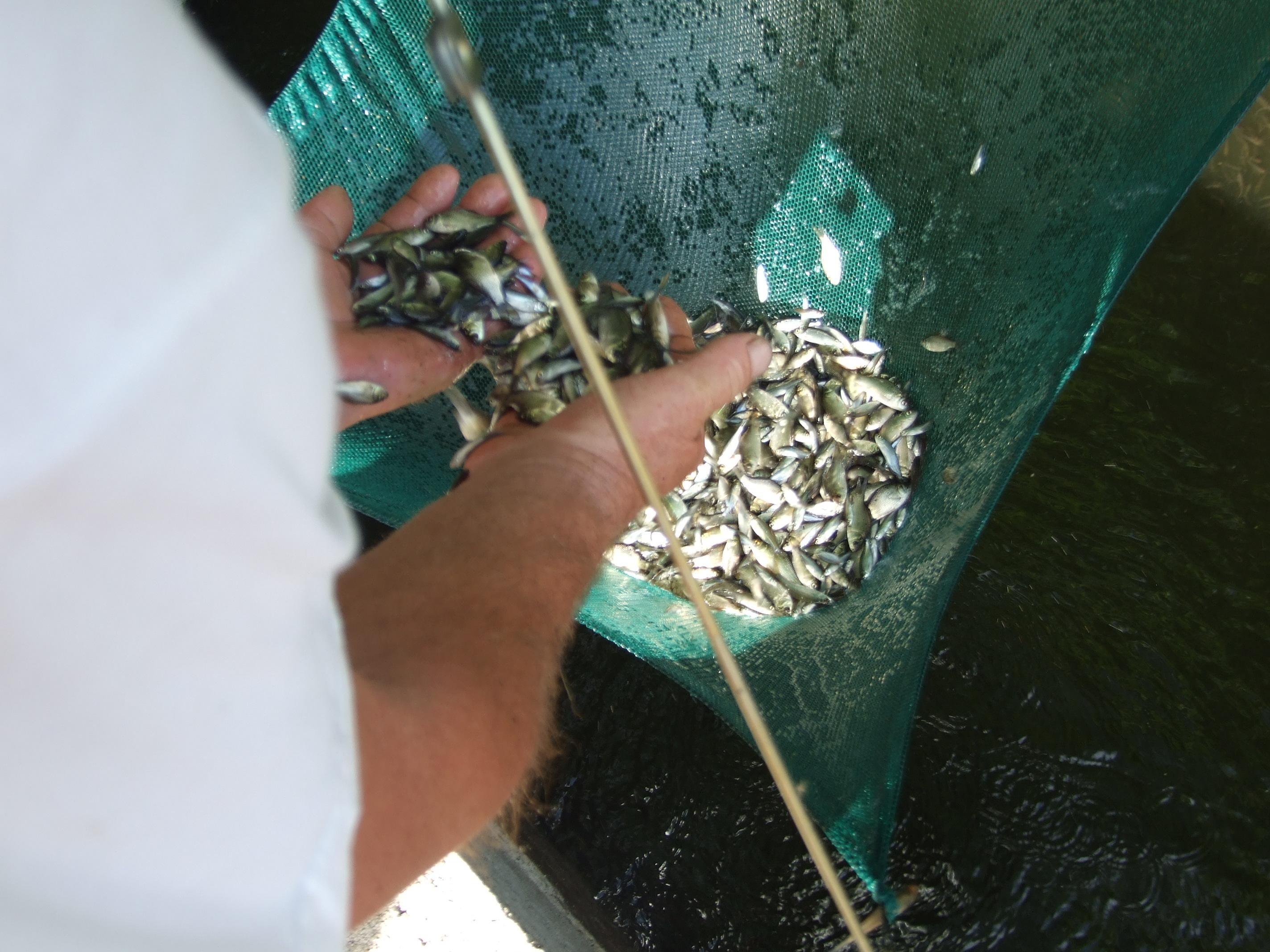 2010-ben a Hantoskerti holtág belső, gáton belüli részében egy merítéssel fogott ivadékok. Zömében egészséges pontyok