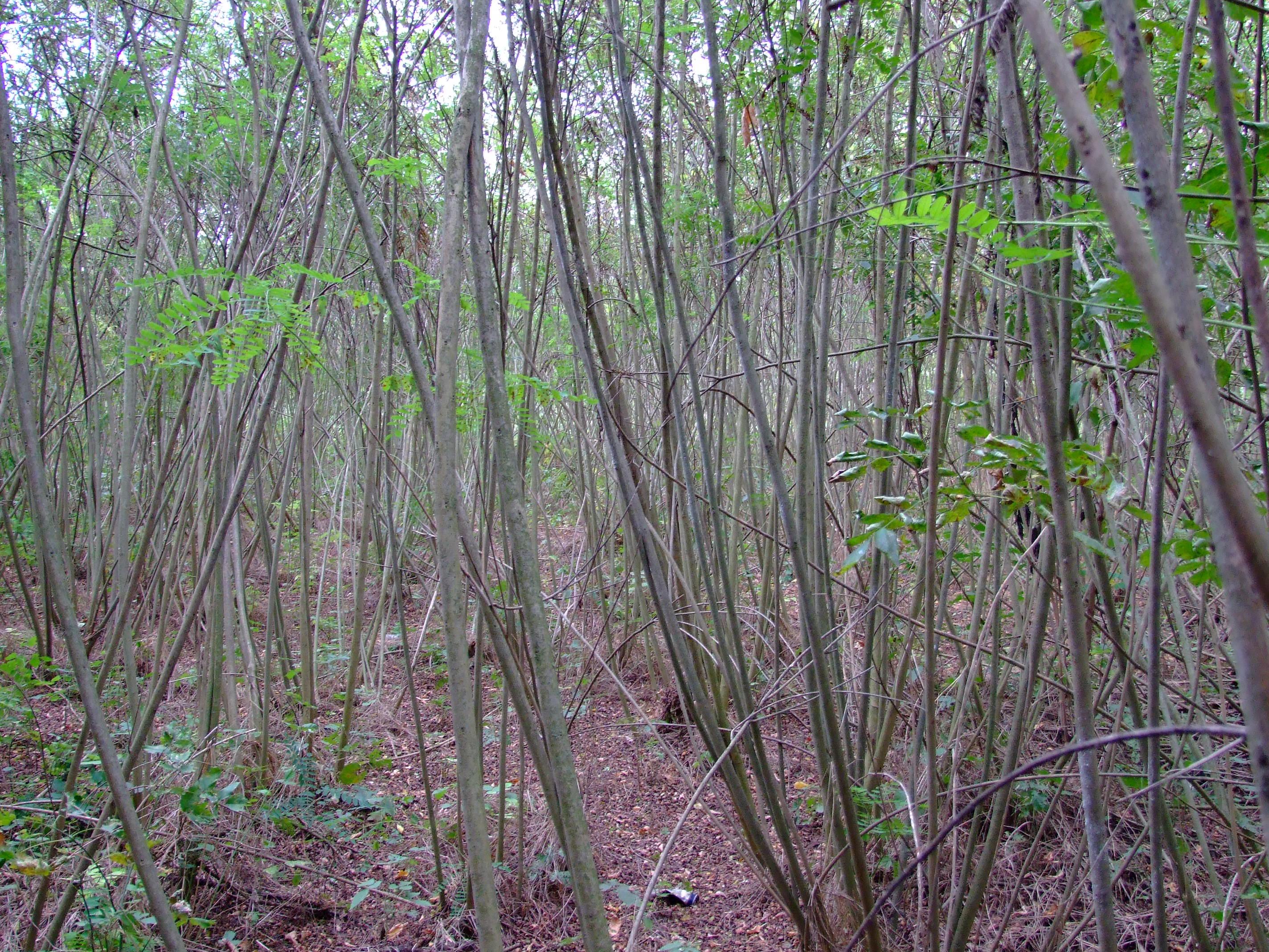 egyhangú gyalogakác dzsungel egy olyan helyen ahol 15 éve még fajgazdag réti gyeptársulás volt.