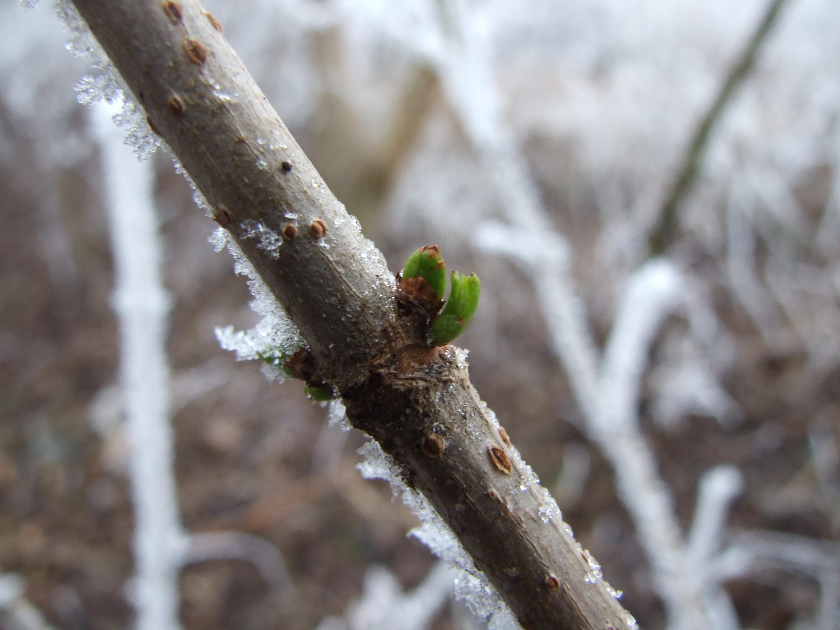 Az enyhe tél következménye. A fagyok előtt kirügyezett bodza