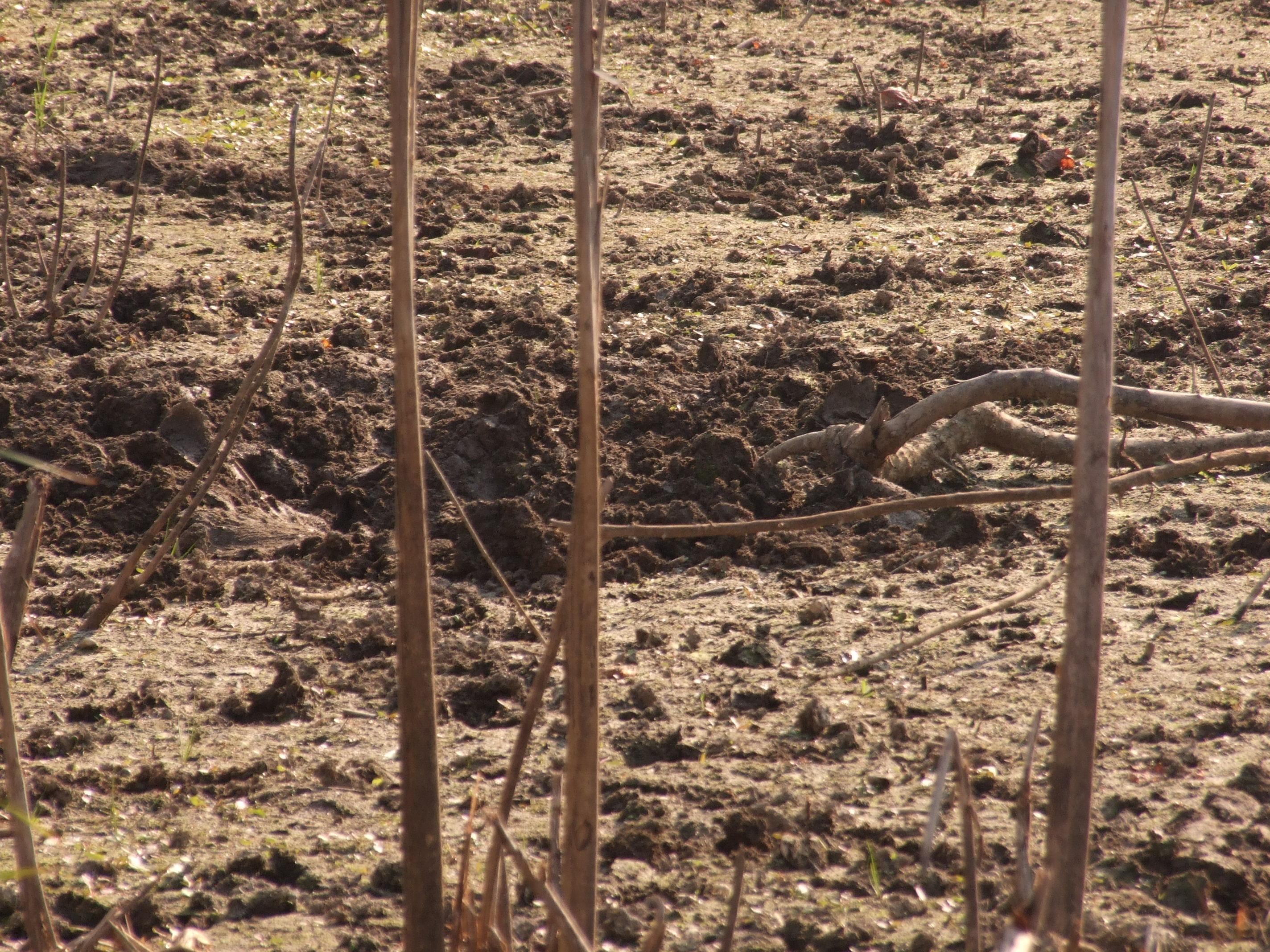 Vaddisznók által feldúrt kiszáradt holtág meder.A kiszáradt mocsárban elvermelő réti csíkok sokszor  a vaddisznók táplálékává válnak .