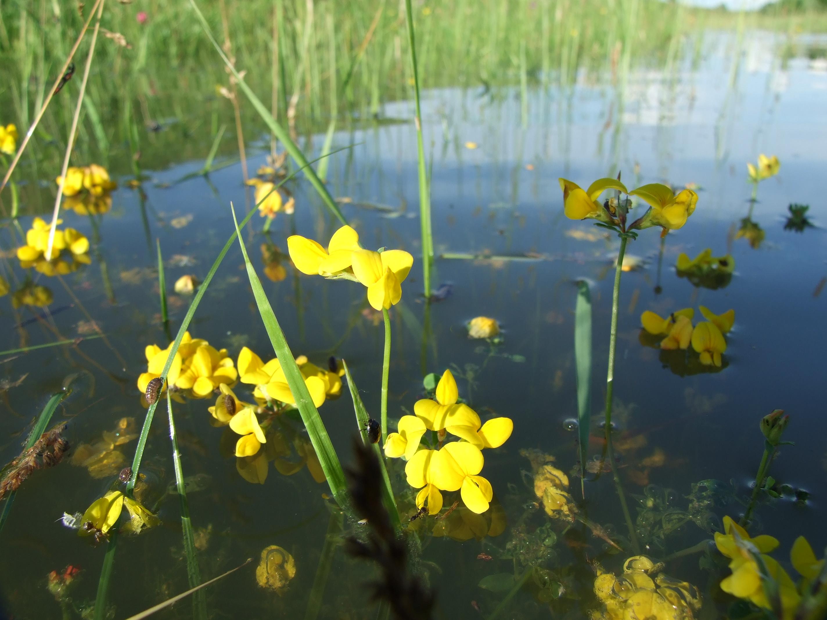 Vízben a virágzó lednek