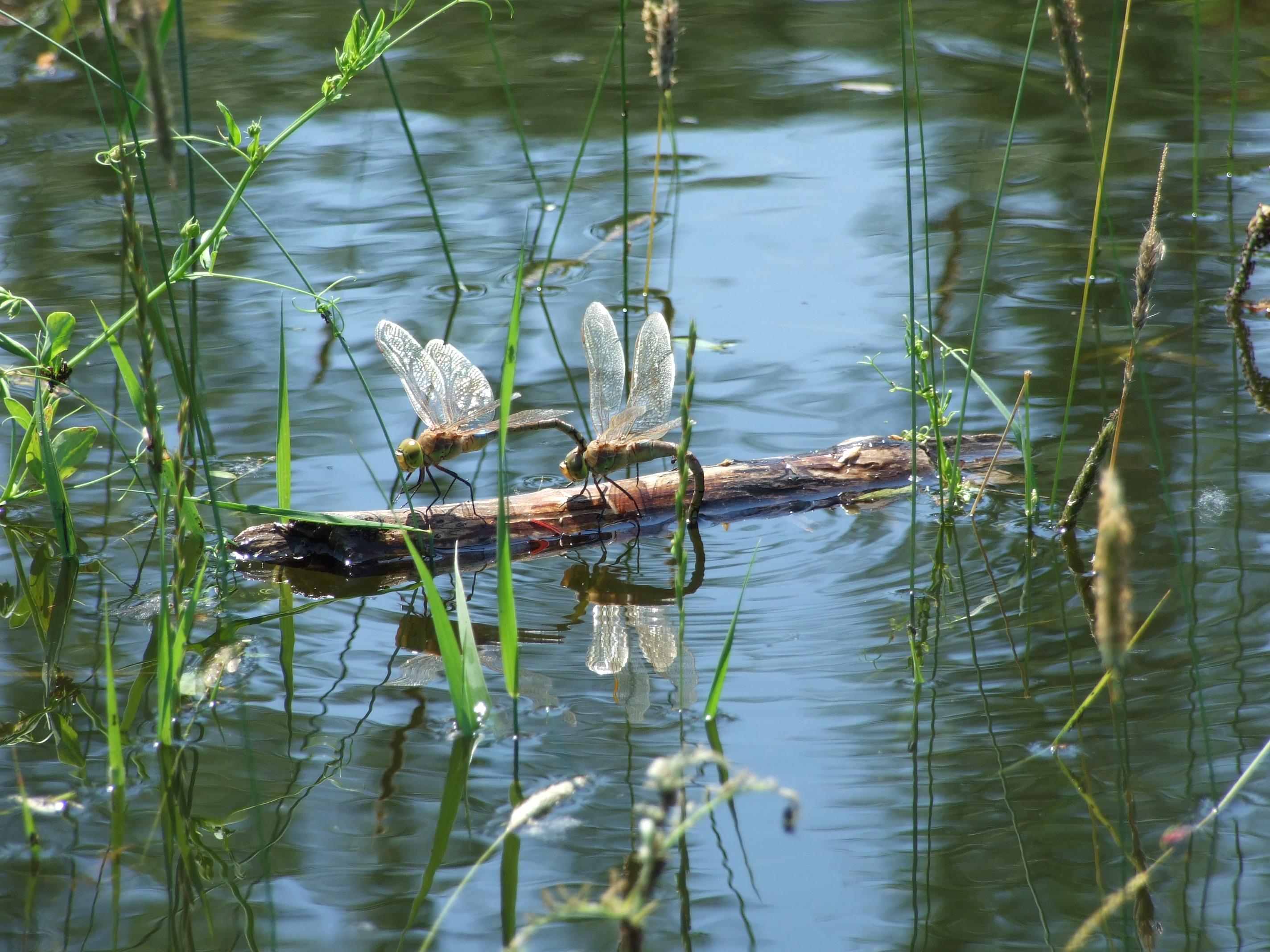 A magas vízállás más élőlények szaporodásának is kedvez. A szúnyogok legnagyobb ellenségei a szitakötők.