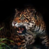 Leconte de Lisle: A jaguár