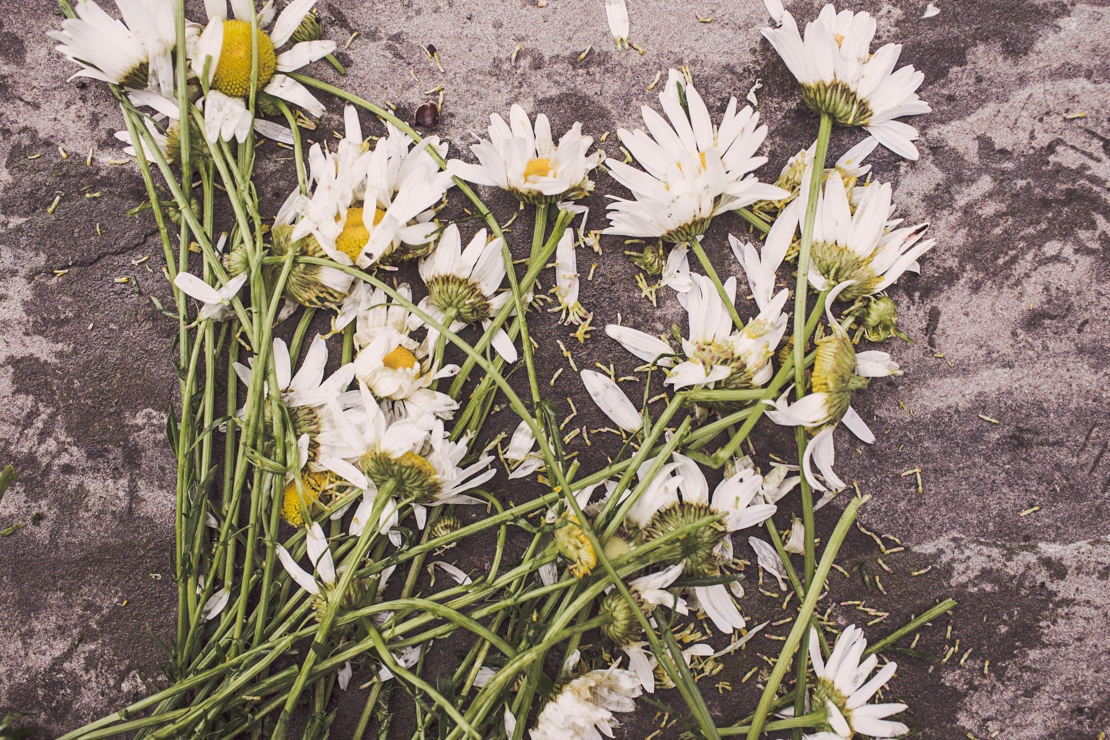 flowers-marguerites-destroyed-dead.jpg