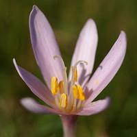 Milyen növény ez?  > Netherbárium.hu
