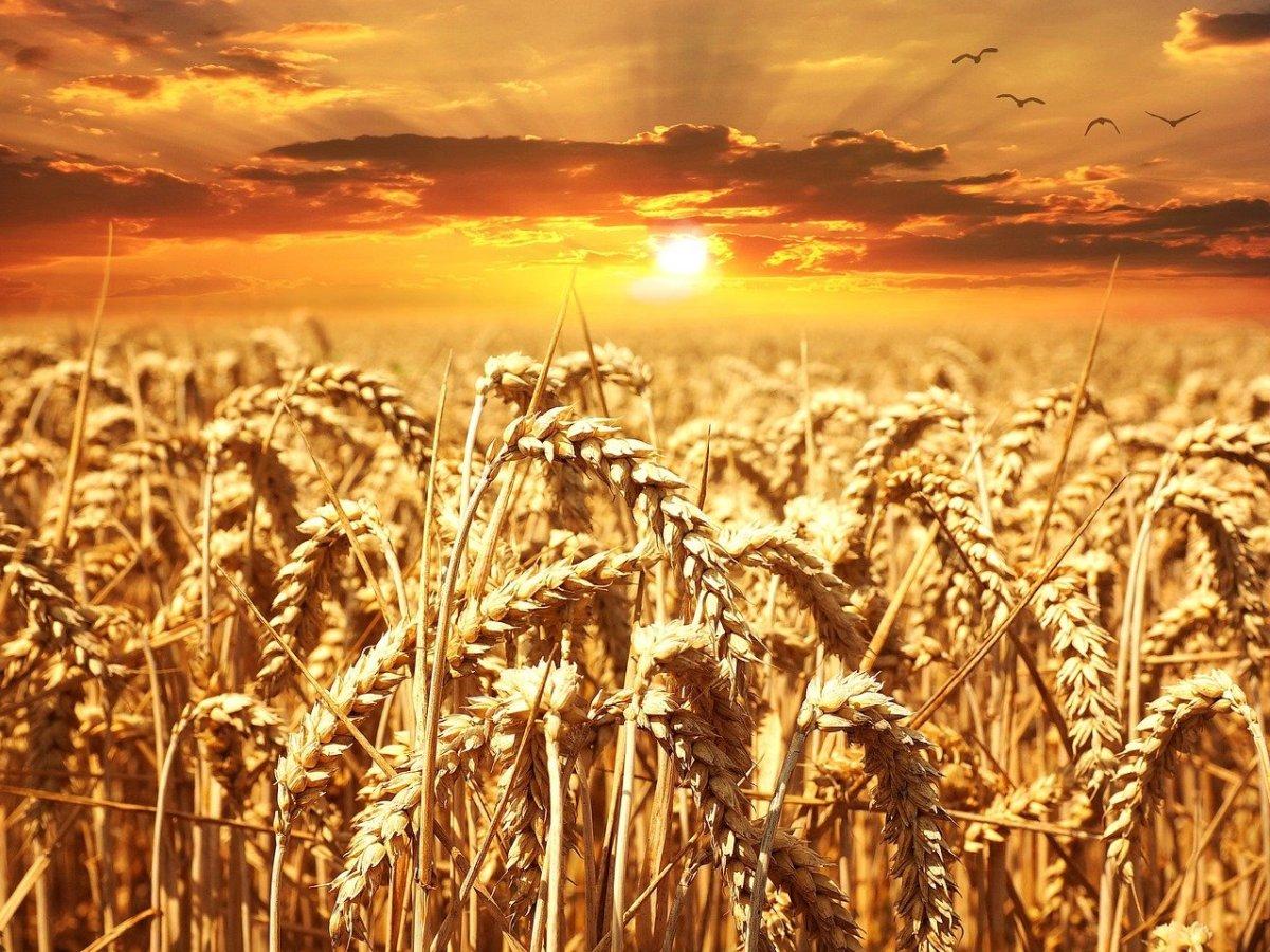 wheat-640960_1280.jpg