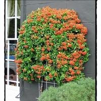 Kedvenc őszi növényeim - 2. rész: A tűztövis