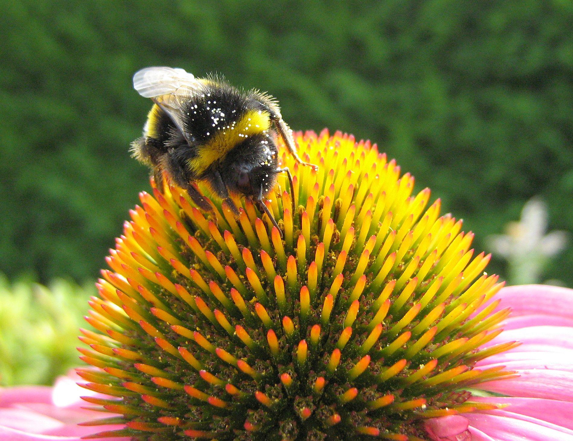 bumblebee-echinacea-pollen.jpg