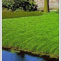 JEGYZET 2: Talajtakaró boróka - Juniperus horizontalis 'Wiltonii'