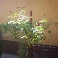 Rózsafa bimbója