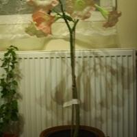 Angyaltrombita, mint szobanövény