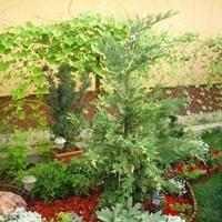 Leylandi ciprus - x Cupressocyparis leylandii