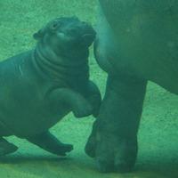 Bébi víziló első nyilvános szereplése a berlini állatkertben