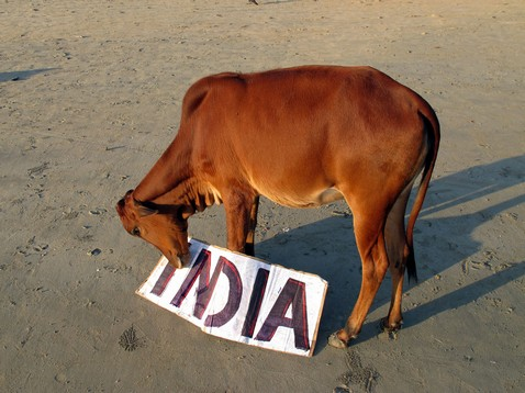 India tábla tehénnel