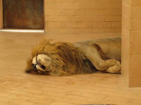 Halott oroszlán
