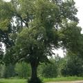 1059. A százéves hársfa alatt