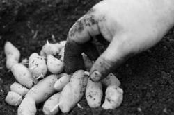 krumplik.jpg