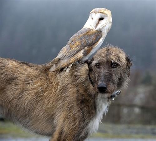 Ír farkaskutya és gyöngybagoly - mintha egy tipikus brit szellemtörténetből léptek volna elő.