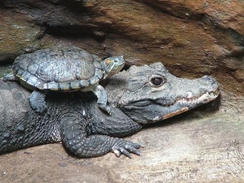 A teknős a Frédi és Béniben érzi magát, ahogy a krokodilt lovagolja...