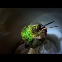 Hallottál már kolibrit horkolni? Most fogsz!