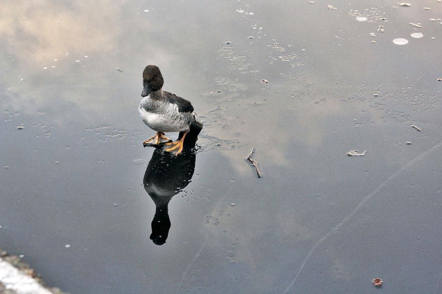 duck-rescue-frozen-lake-norway-9.jpg