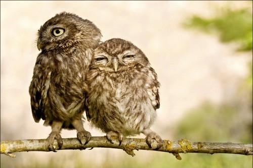 owllove.jpg