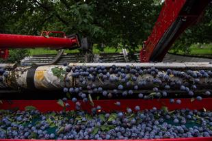 Jó lesz az idei szilva termés, milliószámra készül a befőtt és a lekvár