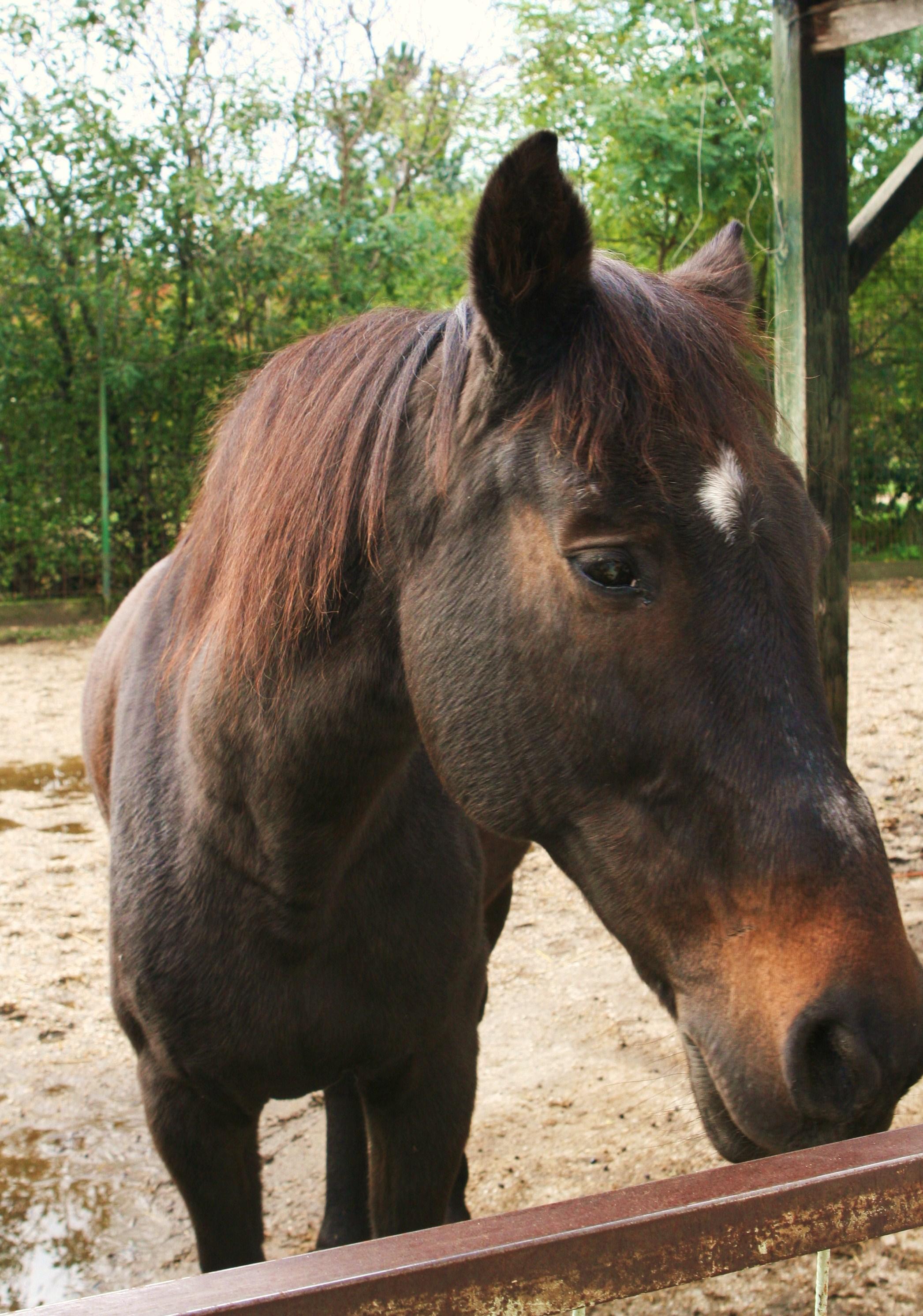 Egy lovat már 60.000 forintért is lehet vásárolni. Meg is teszik sokan hirtelen felindulásból. A történet vége sajnos néha a vágóhíd... jobb esetben egy állatotthon.  A képen egyébként a menhely egyik állandó lakója, Honey.