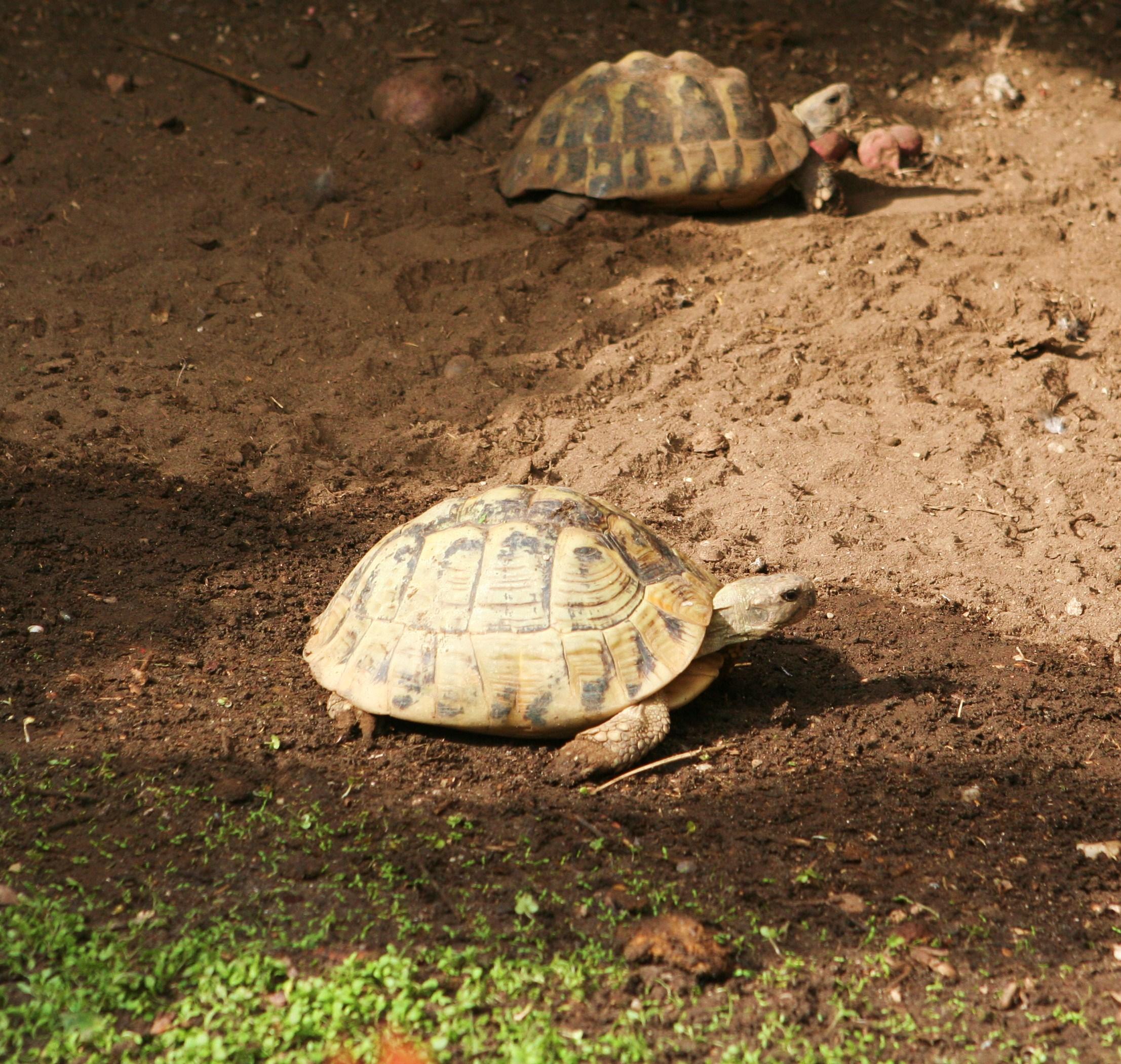 A görög teknősök szállítása bűncselekménynek számít, börtönbüntetést is lehet kapni érte. Számos csempész 'áruja' végzi állatotthonokban.