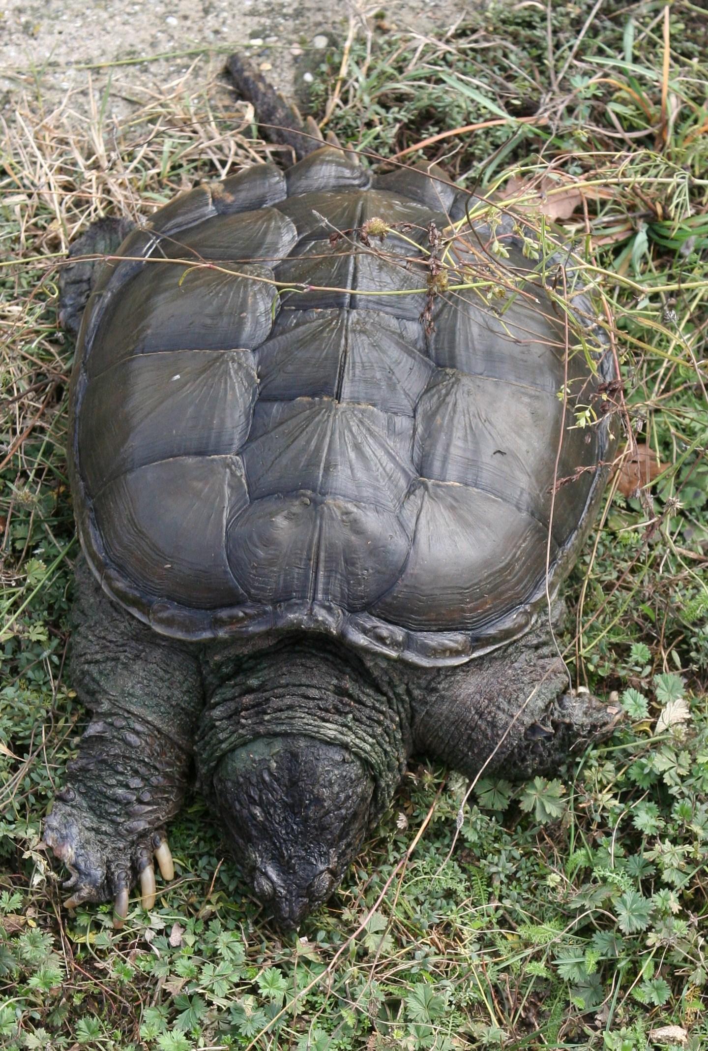 Ugye emlékeznek a hírekből a krokodil teknősre? Egyáltalán nem háziállatnak való. Ha egy kifejlett példány mérete nem is lenne elrettentő, ott van a harapása amely igencsak erős. Nagyon. Egyébként dögevő az aranyos és igen jól érzi magát a menhelyen!