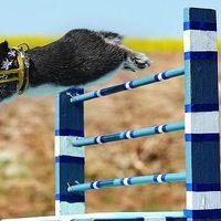 Nyuszi hopp, avagy díjugratás nyulakkal: a világ legcukibb sportja