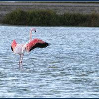 Szállj flamingó, szállj!